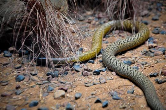 fierce-snake
