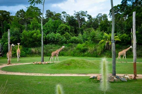 giraffe circle