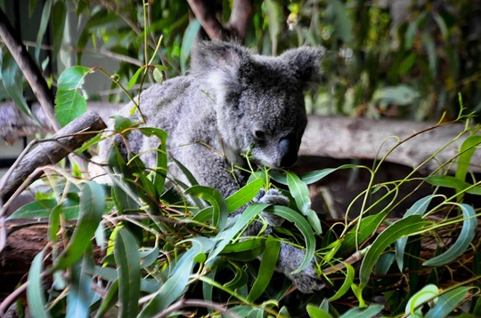 koala1