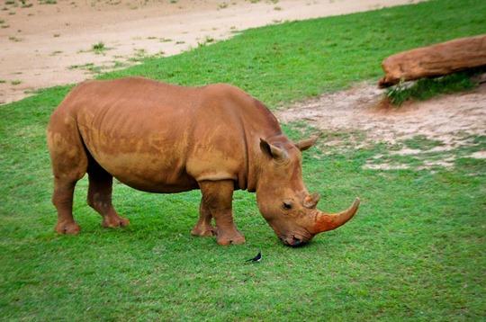 rhino-bird
