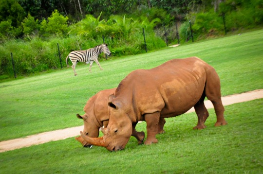 rhino-zebra