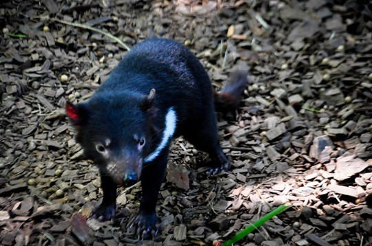tasmanian-devil