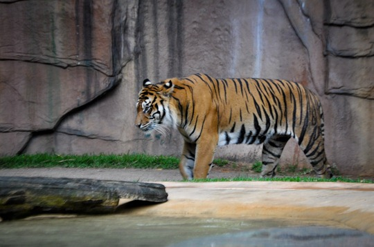 tiger-temple