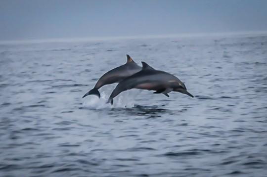 Lovina-Dolphins