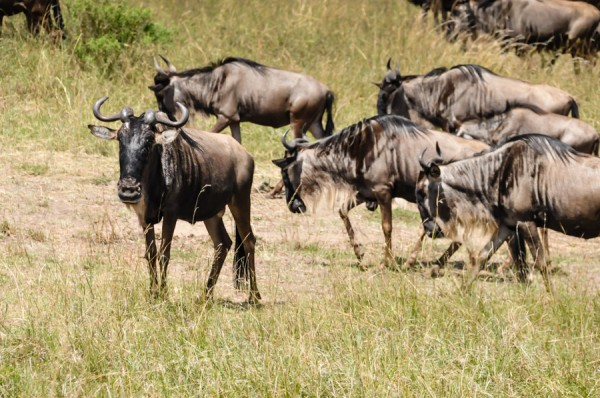 wildebeest-close