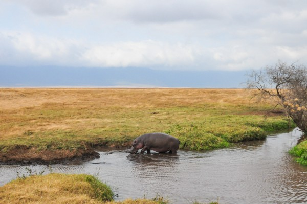 rhino in the serengeti