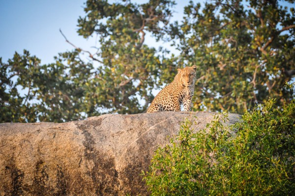 Leopard on hill