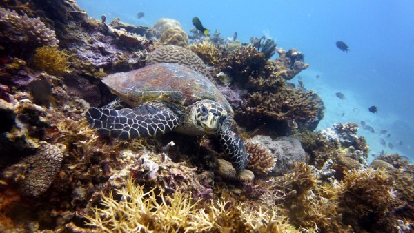Turtle Scuba Diving Philippinesq